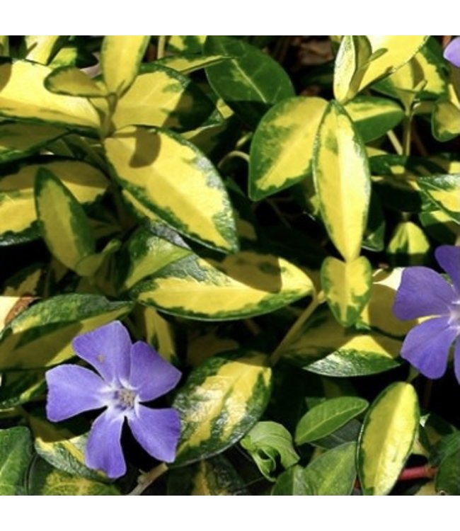 Vinca, Major Illuminations 4 in
