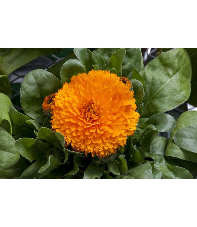 Calendula, Bon Bon Orange 4 in