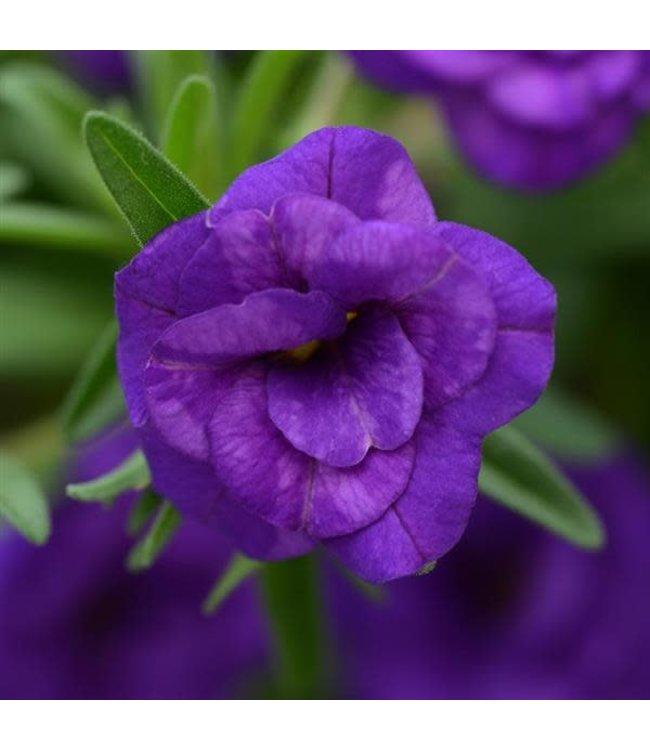 Calibrachoa, MiniFamous Neo Dark Blue 4 in