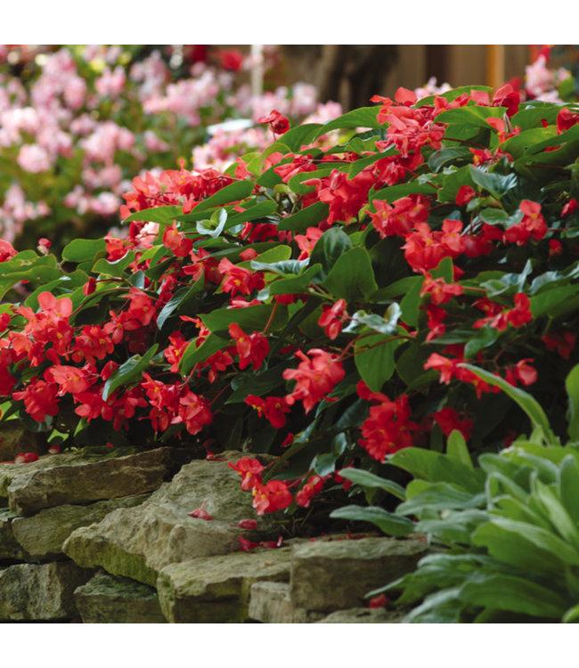 Begonia, Dragon Wing Red #1