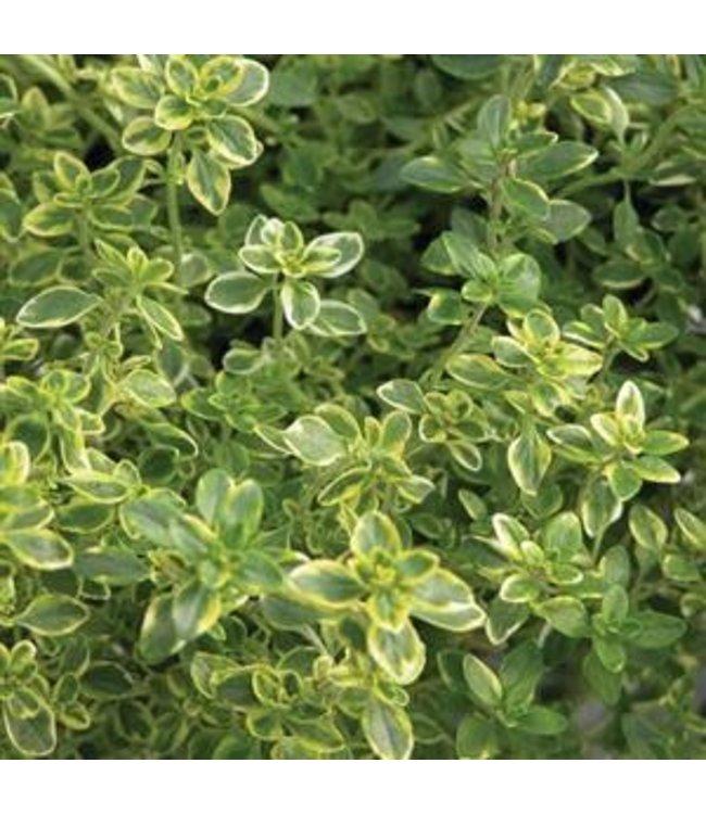 Herb, Thyme Golden Lemon 4 in