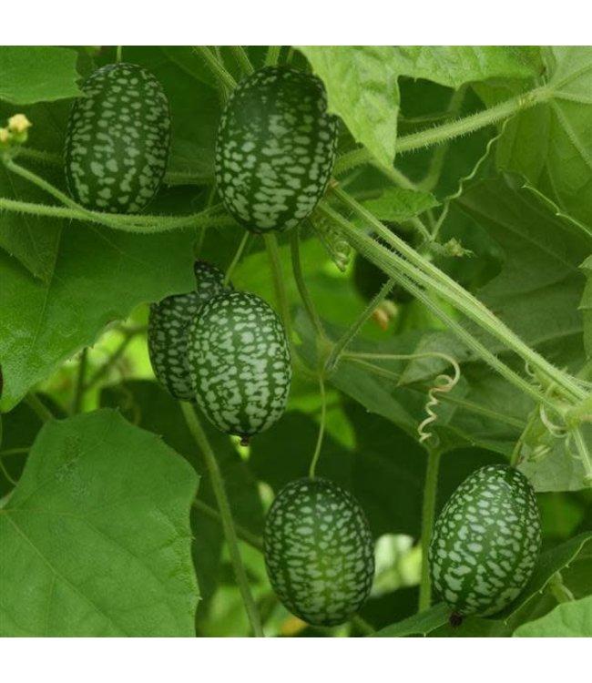 Cucamelon, Mexican Sour Gherkin 4 in