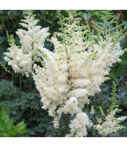 False Spirea, Vision in White 6 in