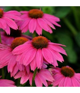 Coneflower, PowWow Wild Berry 6 in