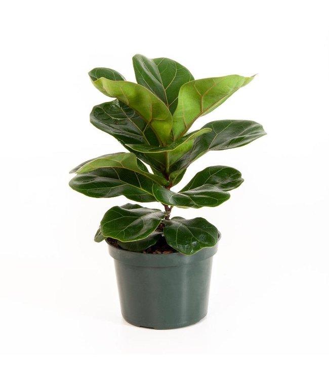 Ficus, Fiddle Leaf 8 in