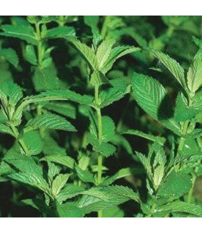 Herb, Mint Spearmint 4 in