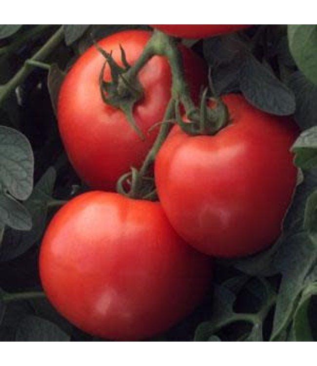 Tomato, Bush Early Girl 1 gal