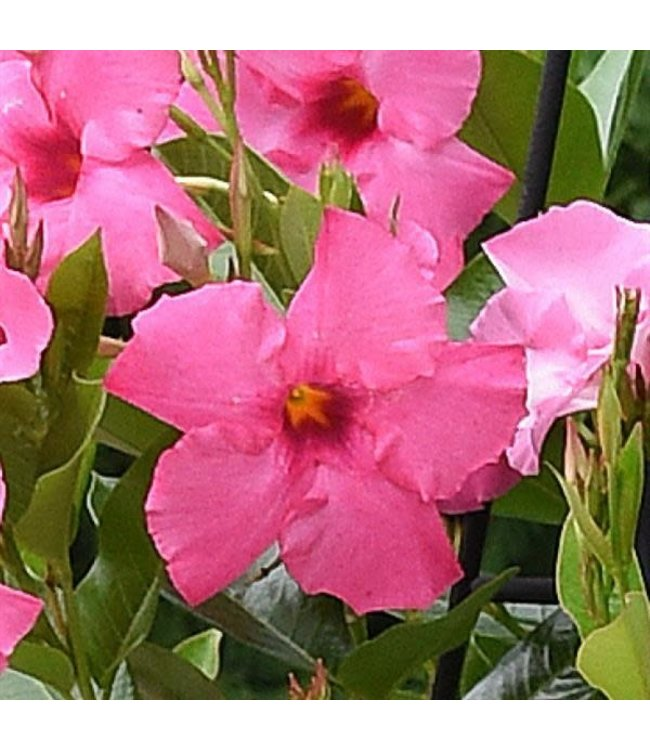 Mandevilla, Bella Hot Pink 6 in