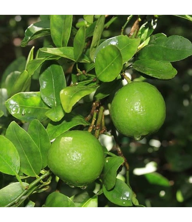 Citrus, Lime 10 in