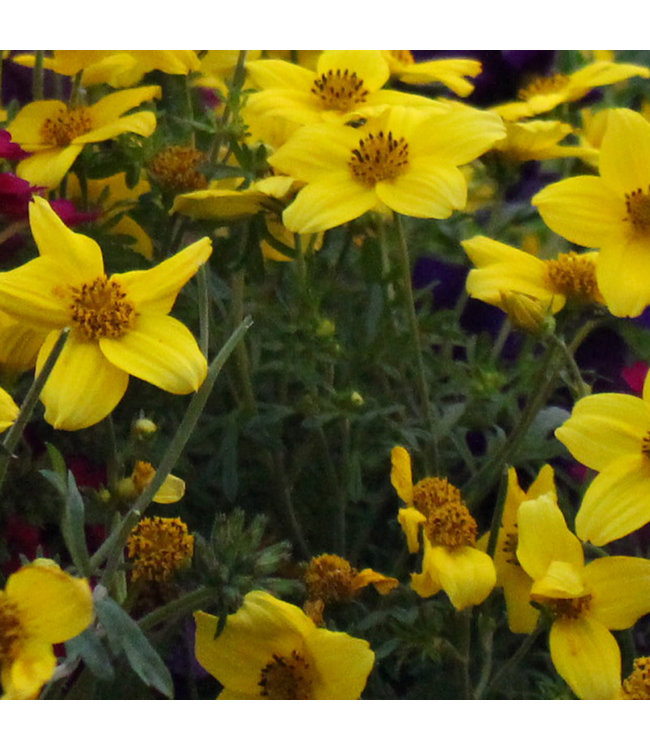 Bidens, Yellow Charm 4 in