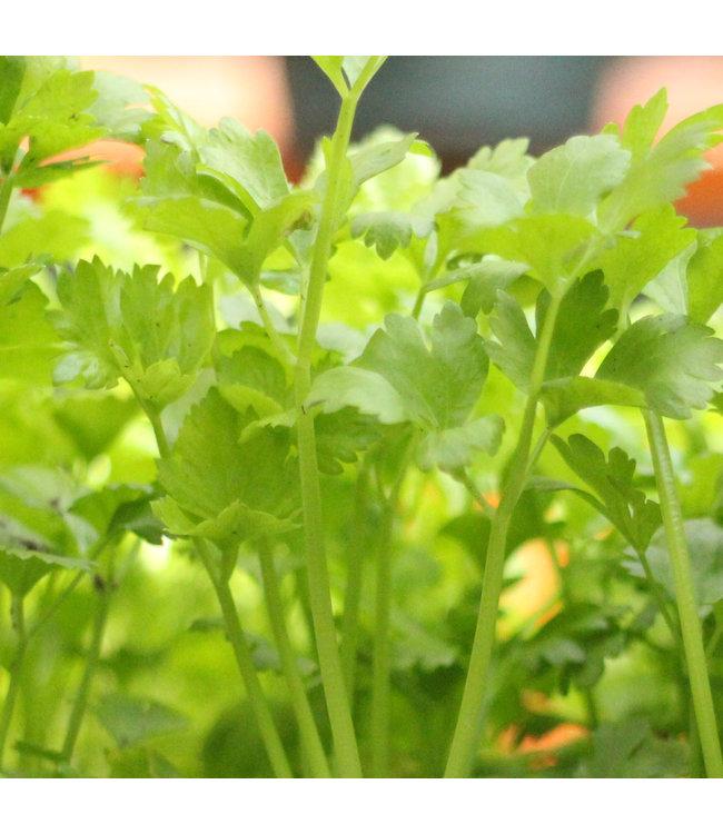 Celery, Leaf 4 in