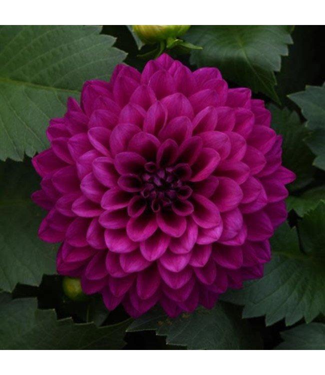 Dahlia, Venti Royal Purple #1