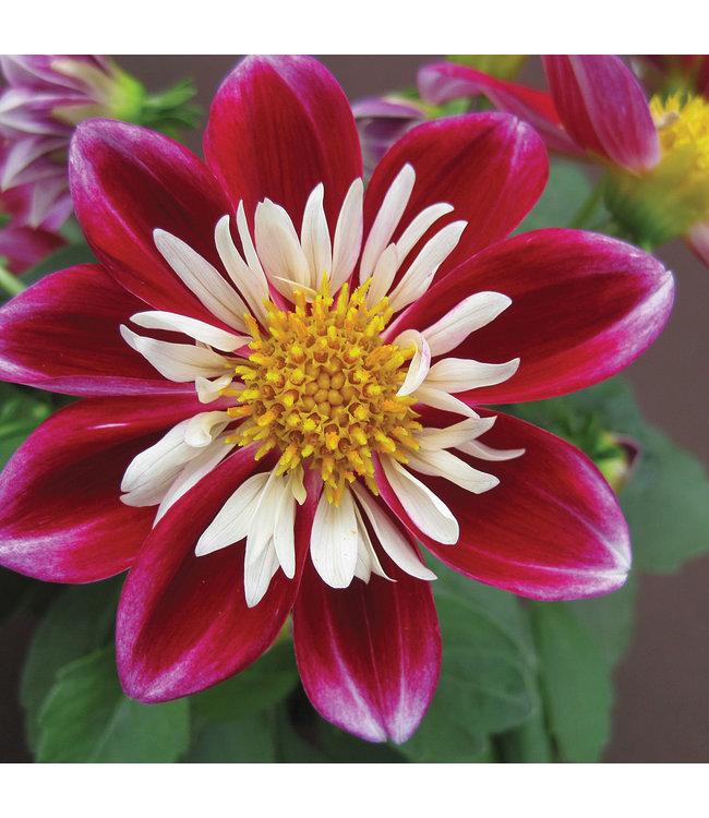 Dahlia, Goldalia Rose 4 in