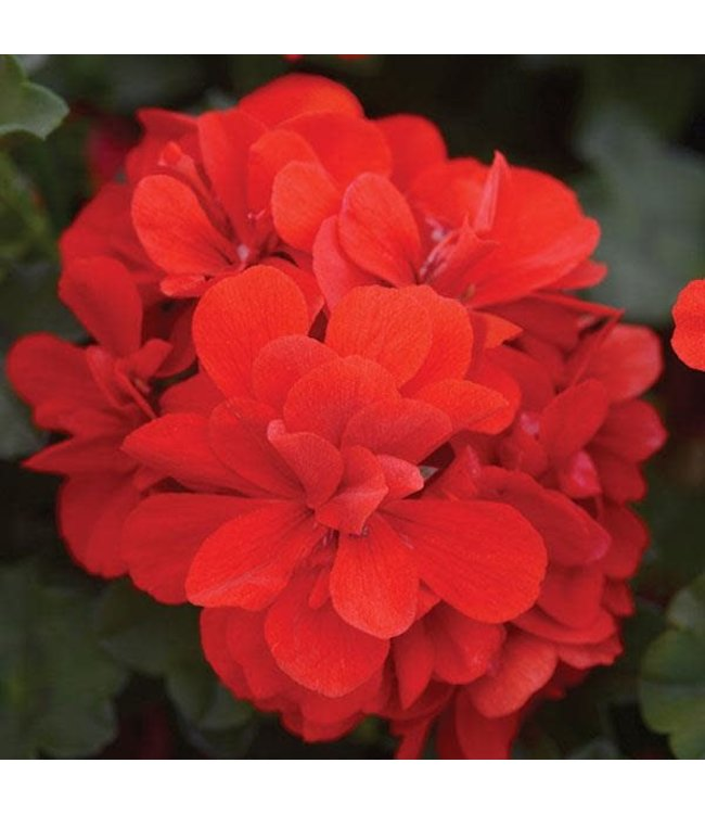 Geranium Ivy, Focus Red 4 in