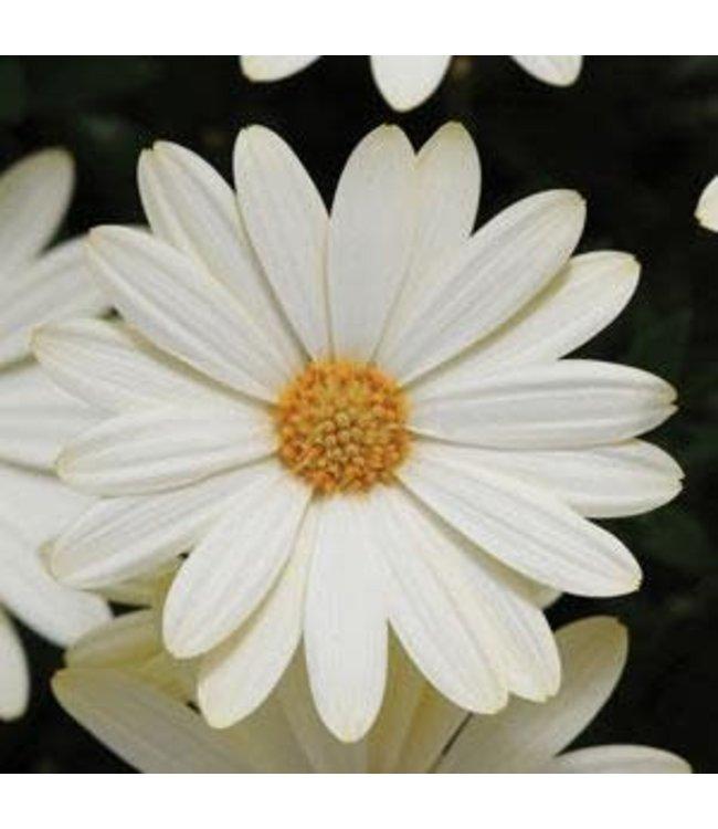 Osteospermum, Voltage White #1