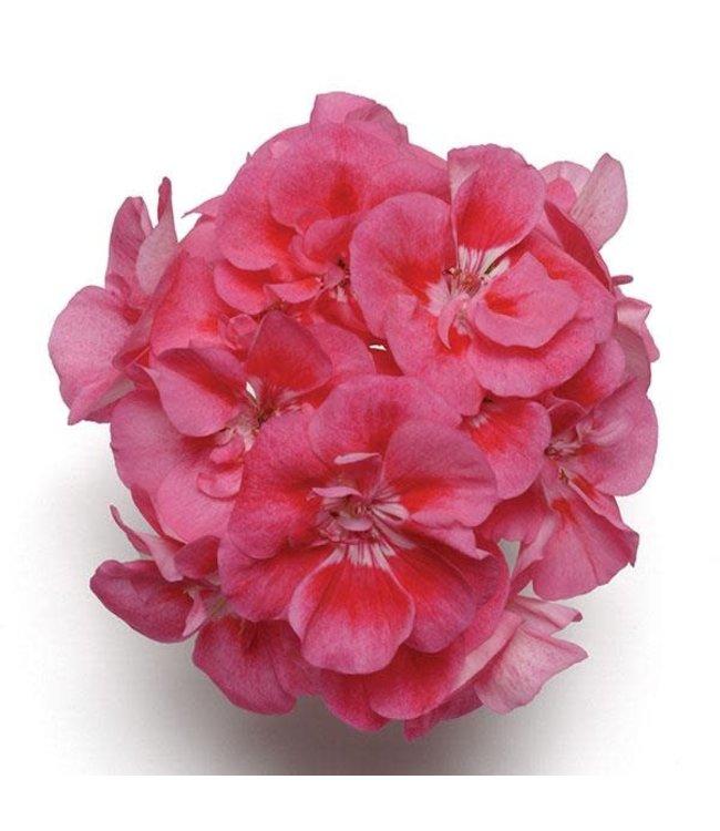 Geranium, Pink Sizzle Zonal 4 in