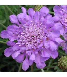 Pincushion Flower, Butterfly Blue 4 in