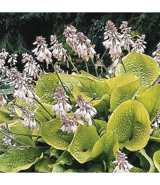 Hosta, Sum and Substance 6 in