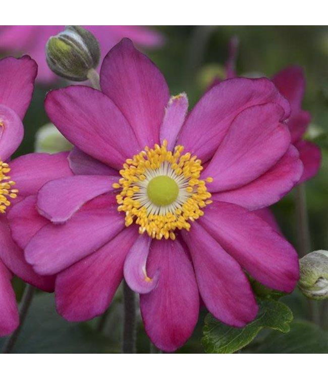 Anemone, Praecox Windflower 6 in
