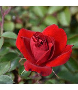 Rose, Canadian Shield #2