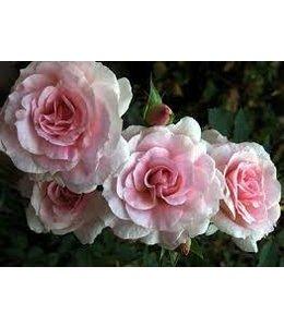 Rose, Morden Blush #2