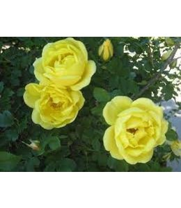 Rose, Hazeldean #2