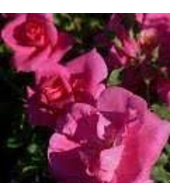 Rose, John Cabot #2