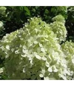 Hydrangea, Little Lime 8 in