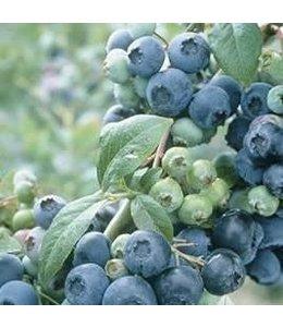 Blueberry, Northsky #1