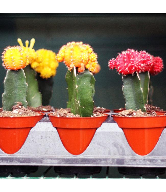 Cactus, Graft Asst 4 in
