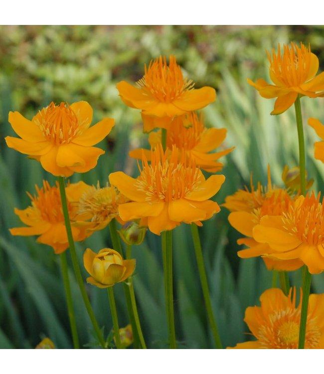 Globeflower, Golden Queen 6 in