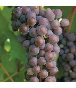 Grape, Frontenac Gris #1