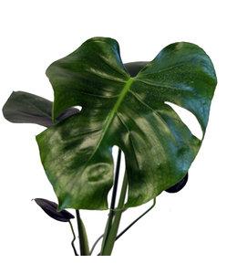 Monstera, Split Leaf Philodendron 4 in