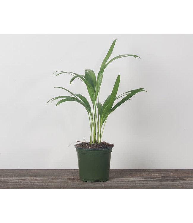 Palm, Areca 4 in