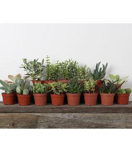 Succulent, Asst 2-3 in