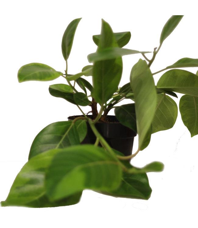 Ficus, Altissima 6 in