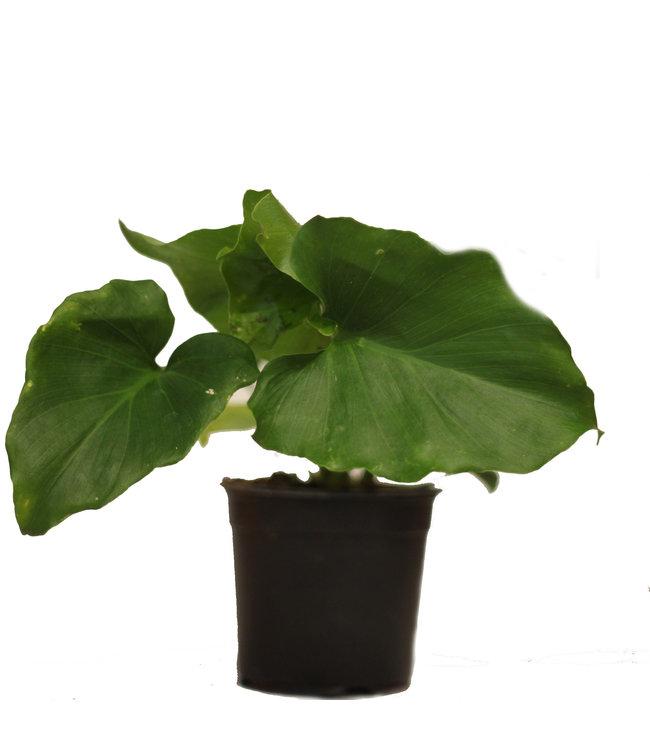 Philodendron, Selloum 4 in