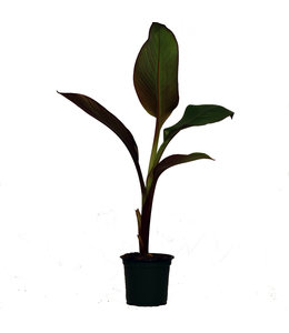 Banana Plant, Blood 4 in