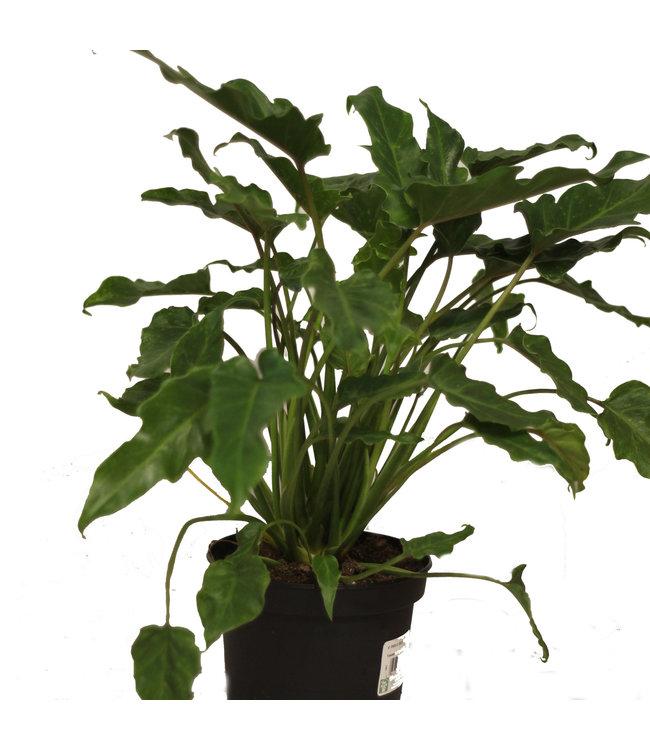 Philodendron, Deja VU 6 in