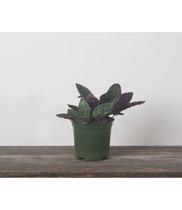 Waffle Plant, 4 in