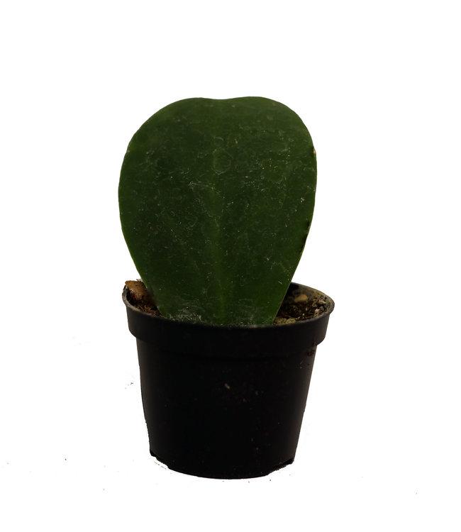Hoya Heart 2.5 in