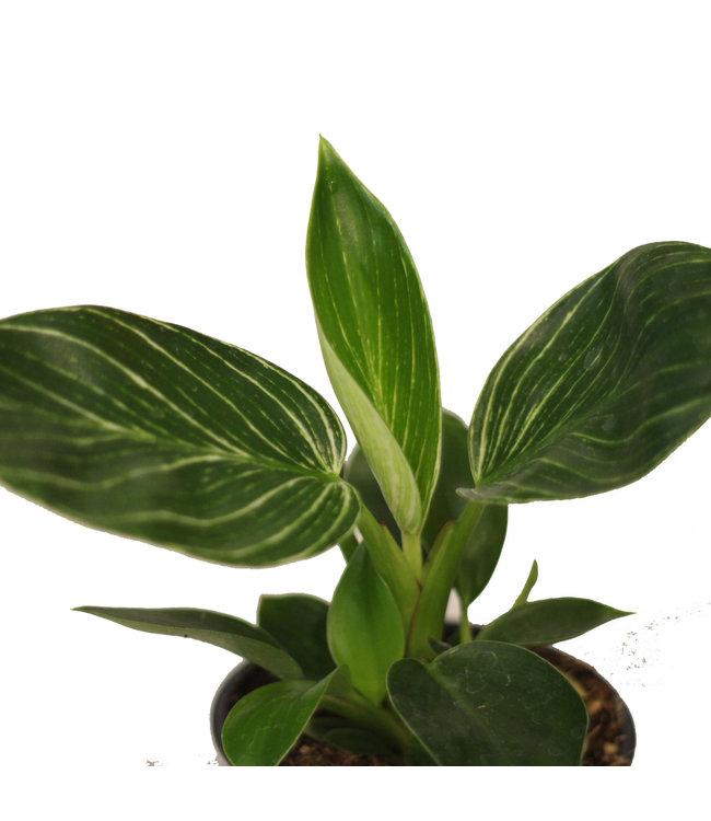 Philodendron, Birkin 4 in