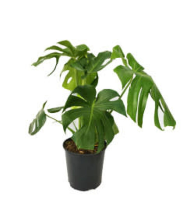 Philodendron, Monstera 6 in
