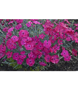 Dianthus, Paint the Town Magenta Pink #1