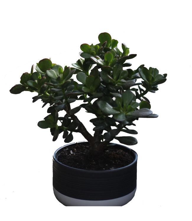 Jade Plant, Ceramic Bowl 17cm