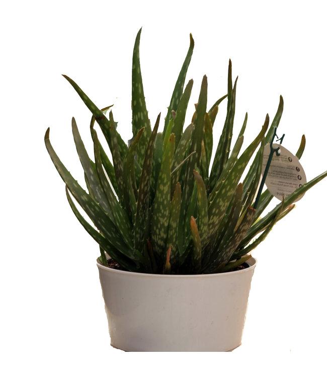 Aloe Vera, Deco Bowl 17cm