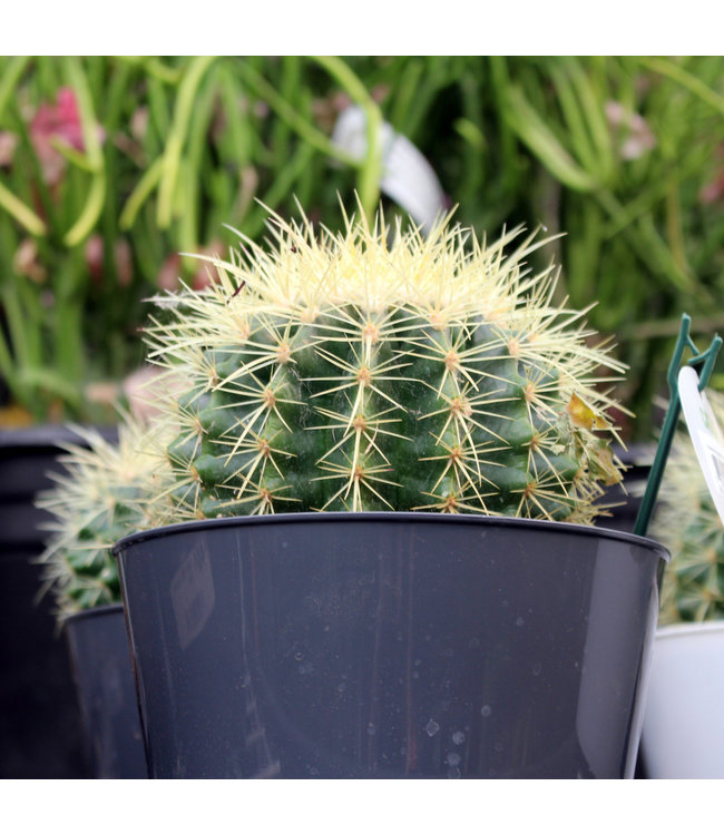 Cactus, 21cm Ceramic Bowl