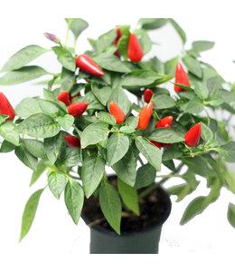 Pepper, Ornamental 4 in