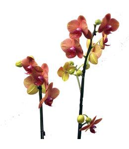 Phalaenopsis, Prem Potted