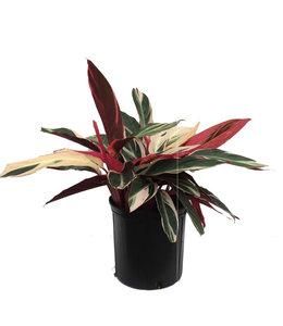 Stromanthe Triostar 6 in